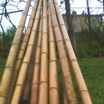 Unser Bambus in Georgien